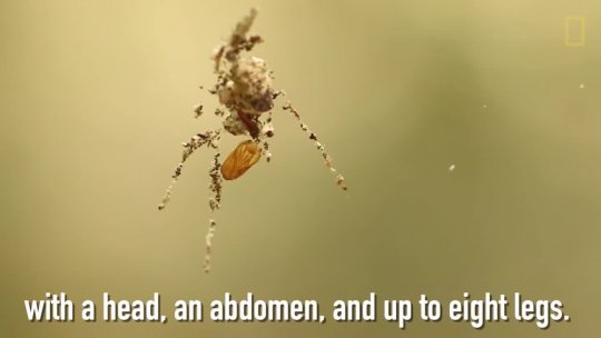 These Spiders Build Decoy Dummies of Themselves